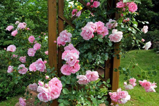 Visite : Jardin d'Aywiers – La taille des rosiers